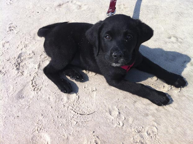 Black Lab Puppy2