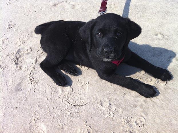 Black Lab Puppy2
